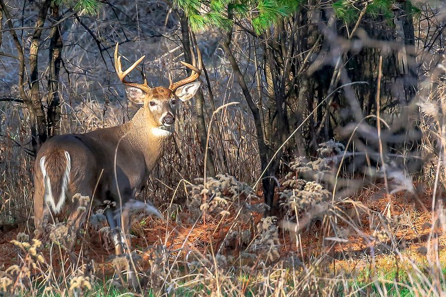 An adult buck deer standing at attention during the Wisconsin deer rut.