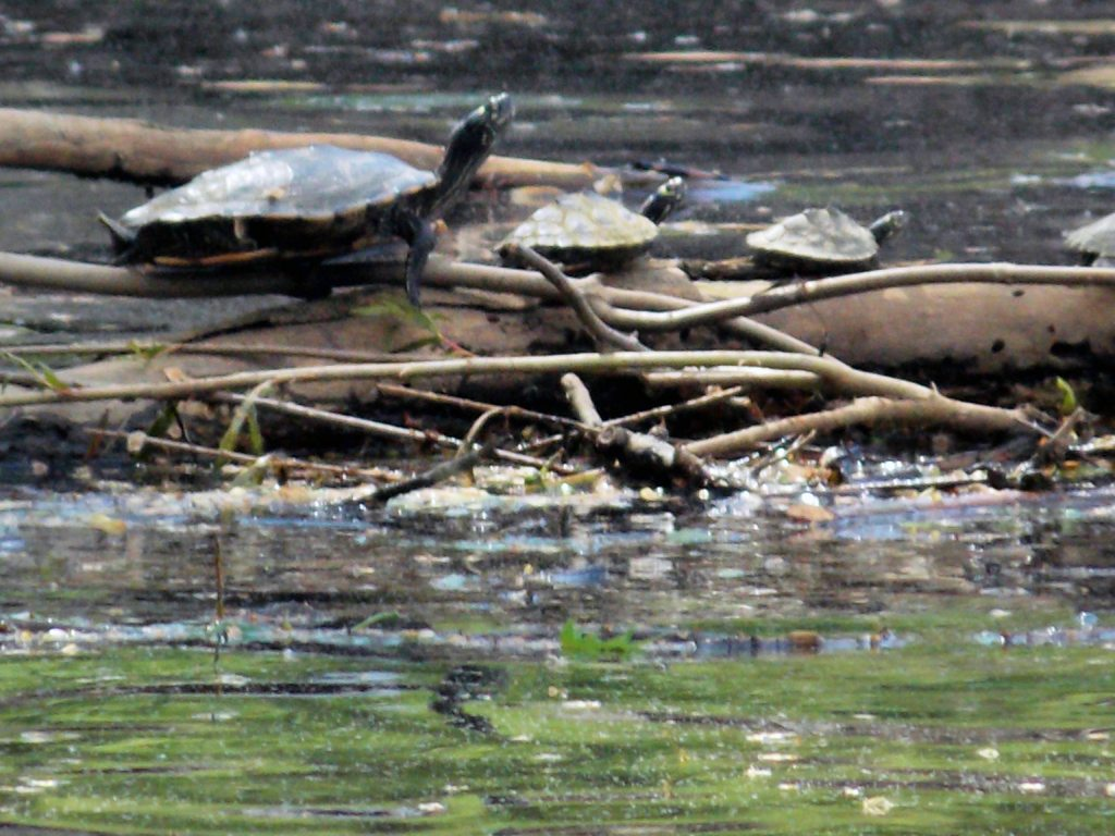 Turtles on a log located on the Wisconsin River
